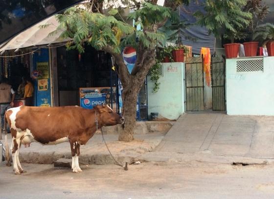 Vaca em frente a casa do seu dono.